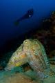 Super model Giant cuttle fish