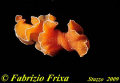 This flatworm was photographed night. His name Yungia aurantiaca. night aurantiaca