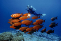Red SquadronDiver watches shoal Common Bigeyes Priancanthus hamrur.BaAtoll Maldives Indian Ocean hamrur). hamrur) Ba-Atoll, BaAtoll, Ba Atoll,