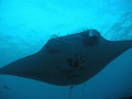 We were underwater about 45ft. cleaning station waiting what seemed forever. Then after 40 minutes blue comes this huge Manta flying gracefully overhead. was first had ever seen Wow beauty. 45ft forever overhead beauty