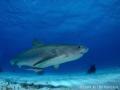 Pregnant female tiger shark diver observing her