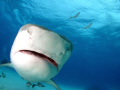 little Close Tiger shark comes check dome port