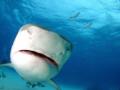little Close Tiger shark comes check dome port
