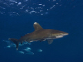 Oceanic Whitetip Daedalus Reef.Very calm friendly.Olympus E330 1454mm Ikelite DS125 Strobes Reef. Reef friendly. friendly 14-54mm, 1454mm, 14 54mm,