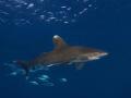 Oceanic Whitetip Daedalus Reef.Very calm friendly.Olympus E330 1454mm Ikelite DS125 Strobes Reef. Reef friendly. friendly 14-54mm, 1454mm, 14 54mm,