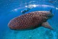 Swimming Whale Shark. Shark