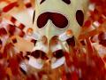 Colman Shrimp Fire Urchin...Not Cropped UrchinNot Urchin :-) :)