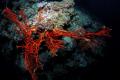 Fiery red fern coral pops like giant hand seabed shot Nikon 2DX 10.5mm fisheye f11 1250 one Inon Z240 strobe 105mm 10 5mm f/11, f11, 11, 1/250, 1250, 250, Z-240 240
