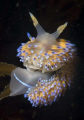 gas flame nudibranch Bonisa nakaza perched kelp frond False Bay Cape Town