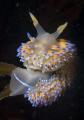 gas flame nudibranch Bonisa nakaza perched kelp frond False Bay Cape Town
