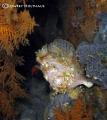 Frogfish Gordons Rocks