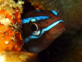 Blue Blenny new year