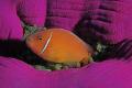 just another anemonefish shot.... shot