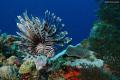 Lion Fish healthy reef Andreas Gunica Puerto Rico.Shot nikon D80 1855mm lens190 sec. f9.5 ISO 100 Rico. Rico 18-55mm 18 55mm 1/90 190 90 sec f95 f9