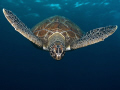 Green turtle descend.My aim was catch after breath air. really like patterns this animal.Olympus E330 1454mm single Ikelite DS125 strobe. descend. descend air animal. animal 14-54mm, 1454mm, 14 54mm, strobe