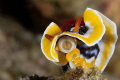 Hi there... chromodoris magnifica there