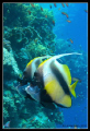 Couple Butterflyfishes Heniochus intermedius Ras Mohammed