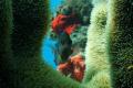 Attractive demoiselle dancing under light reef
