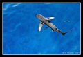 Oceanic White Tip Shark friends Daedalus Reef