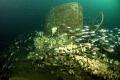 Coning tower U12 swept juvenile whiting. 48 metres down degee c. Nikon D70 sea housing strobes whiting