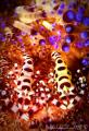 pair Coleman ShrimpLembeh Shrimp-Lembeh Shrimp Lembeh