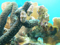 Pair flamingo tongue nudibranchs stretching out. out