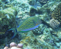 love snorkelling close reef where without dive gear its possible be really manoeuverable get great natural light shots show array colours. Picture Clown Surgeonfish Acanthurus lineatus. colours lineatus). lineatus)