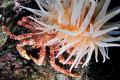 small Lithodes maja seeking shelter under tentacles Bolocera tuediae