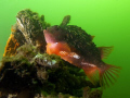 Cyclopterus lumpus be found beginning each year our Oosterschelde. coloured males stay neighbourhood eggs about weeks. After they disappear deeper waters. Notice green colour Northsee. Oosterschelde weeks waters Northsee