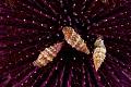 Shells sea urchin