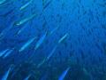 Its raining mackerel