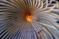 Giant fan worm