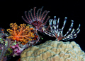 Crinoids night. night