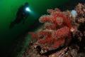 Red soft corals Marmara Island. Taken Nikon D80 105 fisheye lens 2xYS110 strobe. Island strobe