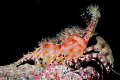 "Cirque du Soleil. Thats what this shrimp reminds me of. Night dive Palau. Update Per Brian Mayes Marble Shrimp. Thanks Soleil"". Soleil"" of Palau"