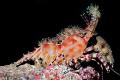 "Cirque du Soleil. Thats what this shrimp reminds me of. Night dive Palau. Update Per Brian Mayes Marble Shrimp. Thanks Soleil"". Soleil"" of Palau"
