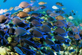 Huge school feeding frenzy. Bonaire D70 Subal Inon Strobes frenzy