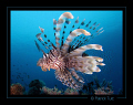 Lionfish Marsa Shagra Egypt Canon S90 hand torch light