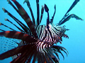 No cropping photoshop Common Lionfish LayangLayang East Msia Layang-Layang, LayangLayang, Layang Layang,