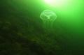 Sea DXG1 one YS 110A Strobe...F8200 ISO 200.Jelly fish heading sun... DX-G1 DX G1 Strobe...F8/200 StrobeF8/200 Strobe F8/200 Strobe...F8 200 200. sun