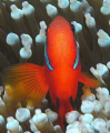 headon saddleback clown fish.. if you look really close see through his right eye head-on head fish