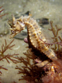 Young Seahorse chillaxing night dive under Rye Pier Port Phillip Bay Melbourne. Melbourne