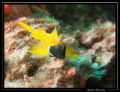Tripterygion jaune