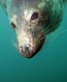 friendly seal Eyemouth east Scotland. canon g11 ys110 strobe. Scotland strobe