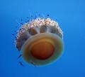 cotylorhiza tuberculata Fried egg jelly tuberculata/