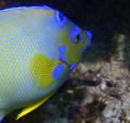 Queen Angel John Pennekamp Coral Reef State Park Key Largo FL