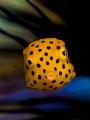 Yellow baby boxfish