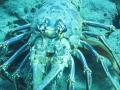 Spiny lobster close
