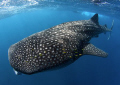 My first ever whale shark What way end year... year