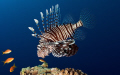 Lionfish looking lunch